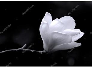 Фотообои «B&W изображение цветок магнолии.»