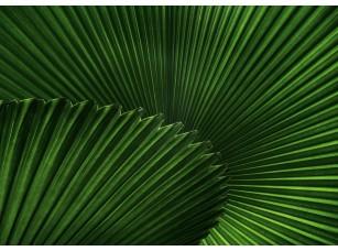 Фотообои «Веерные листья пальмы»