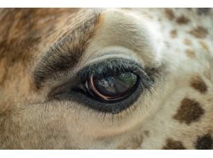 Фотообои «Глаз жирафа»