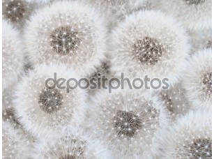Фотообои «White dandelions»