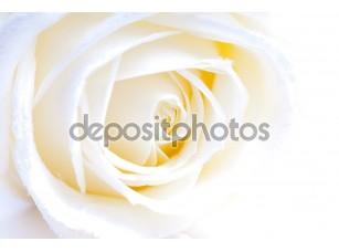 Фотообои «Абстрактный белые розы макро»