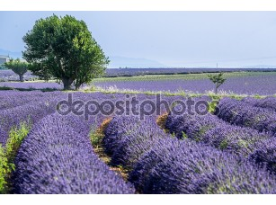 Фотообои «Lavander provence»