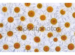 Фотообои «Chamomile flowers as background»