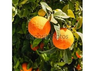 Фотообои «Bitter oranges growing on tree»