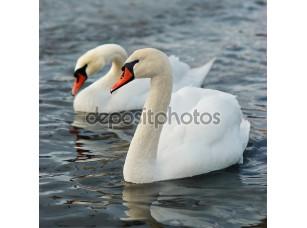 Фотообои «белые лебеди.»