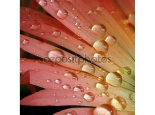 Фотообои «Капельки воды на красочный цветок»