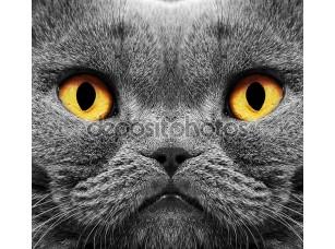 Фотообои «Кот британский короткие волосы»