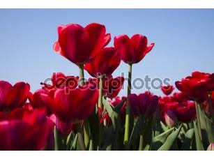 Фотообои «Красные тюльпан»