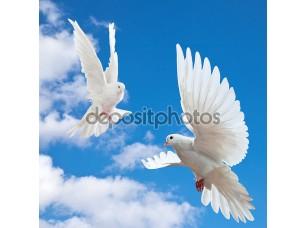 Фотообои «голубь в воздухе с широко открытыми крыльями»