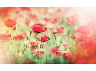 Фотообои «Meadow with poppy flowers (wild poppy)»