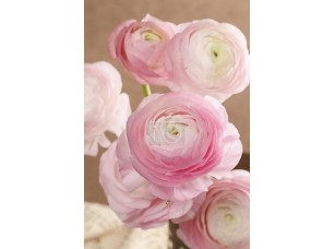 Фотообои «Pink persian buttercup flowers (ranunculus)»